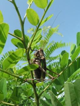 トノサマ 昆虫 虫 草むら 春 殿様 バッタ