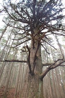 大木 剪定 伸びる 葉 葉っぱ 背景 植物 晴れ 風景 自然  屋外 木 枝 林 森 森林 樹皮 樹木 雑木林 景色 直立 まっすぐ 空 見上げる 常緑樹