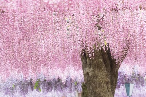藤の花 ピンクの写真