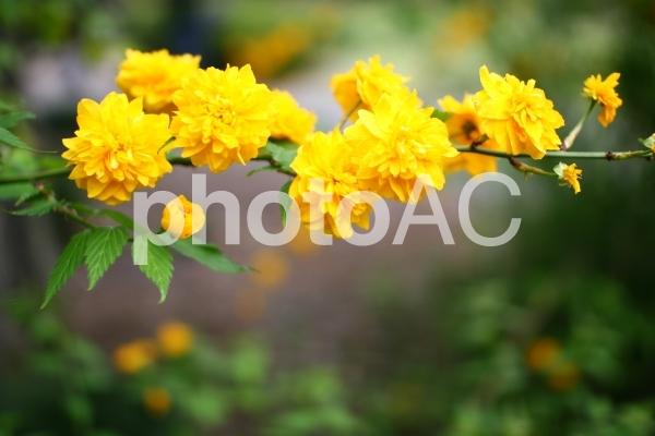 八重咲のヤマブキの写真