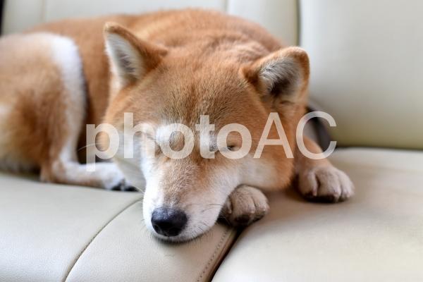 柴犬・睡眠・車の写真