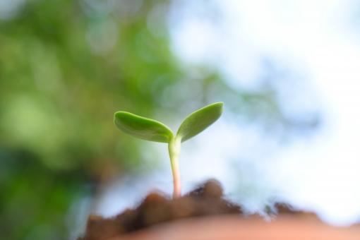 ふたば ロー ローアングル 見上げる 土 つち ツチ 土壌 大地 陸地 地面 土地 砂土 環境 農業 園芸 素材 草 くさ クサ 葉 葉っぱ 緑 グリーン 自然 成長 伸びる 植物 エコ エコロジー クリーン 栽培 ガーデニング オーガニック 芽 新芽 芽吹く 発芽 双葉 命 始まり これから まっすぐ 力強い エネルギー 生命 生命力 活力 活き活き 玉ボケ キラキラ