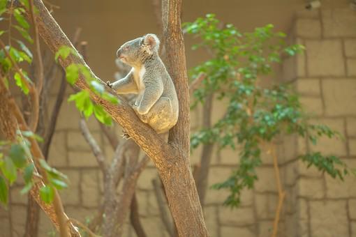 動物 生き物 生物 哺乳類 有袋類 草食動物 コアラ 子守熊 可愛い ふわふわ ふかふか のんびり 平和 安息 木 ユーカリ 葉 木登り 座る 静止 オーストラリア 動物園 飼育 景色 風景