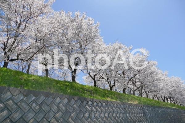 満開の桜並木-1の写真
