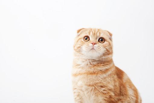 ポーズ 動物 生物 生き物 哺乳類 ほ乳類 猫 ねこ ネコ キャット 子猫 仔猫 仔ネコ 子ネコ 子ねこ 赤ちゃん スコティッシュフォールド かわいい 可愛い バストショット バストアップ 見上げる 茶トラ 白背景 白バック グレーバック 余白 空白 空間 スペース