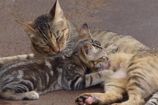 猫 子猫 ネコ ねこ 親子 甘えん坊 赤ちゃん ベビー 授乳 おっぱい オッパイ 愛 親子愛 動物 生き物 生物 野良 肉球 かわいい カワイイ 可愛い