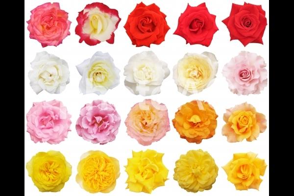 カラフルな複数のバラ-切抜き白背景の写真
