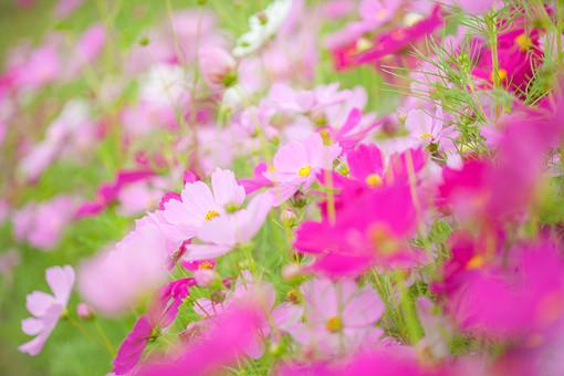 秋の風景 コスモス アキザクラ 秋桜 コスモス畑 花畑 花園 桃色 ピンク 白 緑 植物 花 草花 一面 満開 散歩 散策 自然 風景 景色 真心 のどか 鮮やか 華やか 美しい 綺麗 明るい ボケ味 ピントぼけ 斜め 傾いた