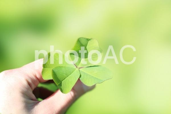 幸せを呼ぶ四葉のクローバーの写真