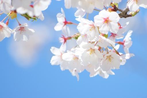 桜 櫻 サクラ さくら ソメイヨシノ 染井吉野 春 白 ピンク 花 植物 樹木 バラ科 薄桃色 薄紅色 淡い 青空 青い 背景 ブルースカイ sky 自然 風景 空多め 花と空 桜と空 入学式 卒業式 門出 きれい 空