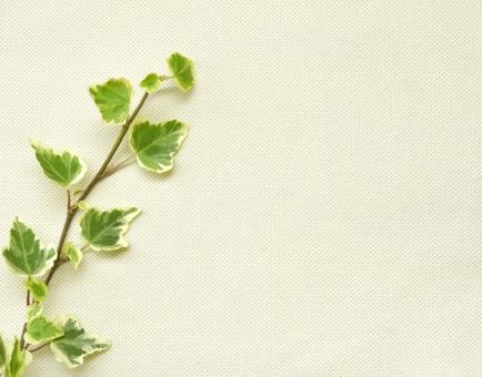 キャンバス キャンバス生地 植物 アイビー テクスチャ テクスチャー 背景 背景素材 自然 クリーム クリーム色 布 葉 緑 グリーン