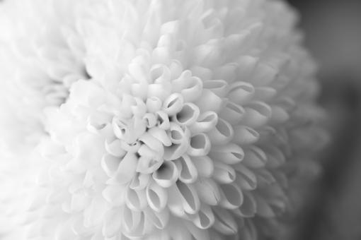 菊 植物 モノクロ 白 弔事 葬儀 花 光 案内状 お悔やみ 忌引き 喪中 喪中ハガキ ハガキ 手紙 悲しい 落ち着く テクスチャ 背景 緑 自然