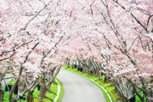 桜 さくら サクラ sakura 花のとんねる 花のトンネル サクラ並木 さくら並木 桜並木 テクスチャ 春 櫻 自然 植物 桜のトンネル 桜のトンネル画像 일본의 벚꽃 sakura of japan cherry blossoms 日本樱花