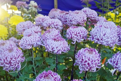 菊 和菊 キク科 観賞用 植物 花