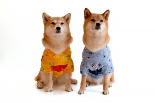 柴犬・浴衣・着物の写真