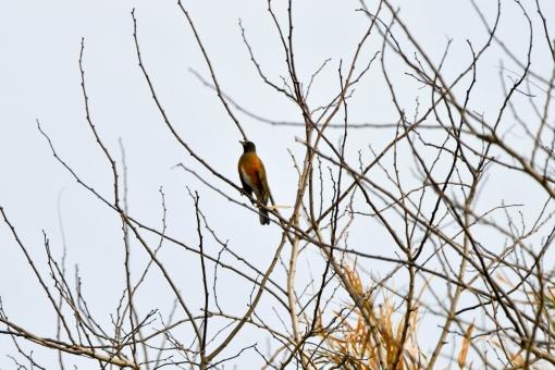 野鳥 アカハラの写真