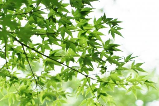 モミジ もみじ 椛 夏 夏のモミジ 夏のみみじ 夏の椛 葉 葉っぱ モミジの葉 もみじの葉 椛の葉 緑 緑色 グリーン green 模様 手の平 掌 若葉 若葉色 青い 若い 若々しい いきいき 生き生き イキイキ 薄緑 黄緑 黄緑色 風景 景色 景観 壁紙 テクスチャ 素材 爽やか 爽快 清々しい 気持ちいい 気持ち良い 涼しい 涼しさ 涼 涼感 夏らしい 涼やか leaf リーフ 重なり 葉の重なり 夏のもみじ カエデ 楓 若い葉 若い葉っぱ 葉の緑 緑の葉 緑色の葉 緑色の葉っぱ 優しい 癒し 枝 木 モミジの木 椛の木 もみじの木