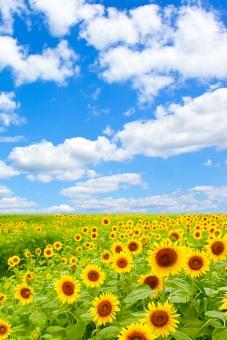 ひまわり畑と雲の写真