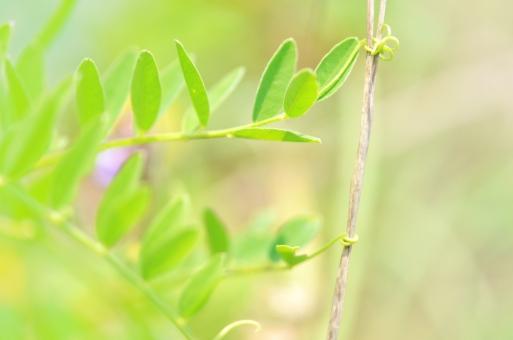 植物 つる 緑 植物の芽 伸びたツル フリー素材 フリー画像 無料画像