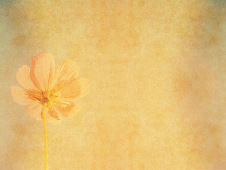 コスモス 秋桜 後ろ姿 開花 花 開く 植物 自然 暖色 ナチュラル 暖かい 空間 余白 テクスチャ 質感 背景 背景素材 バックグラウンド テキストスペース コピースペース フレーム 枠 1輪 1本 透かし 半透明 ぼんやり 柔らかい 秋 加工 写真加工