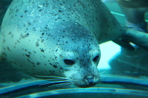 自然 環境 生き物 生物 動物 水族館 動物園 見物 テーマパーク 水辺 水 海 海洋生物 水生 哺乳類 アザラシ 泳ぐ かわいい 人気 ずんぐり のんびり 水の中 おだやか 大きい ポピュラー