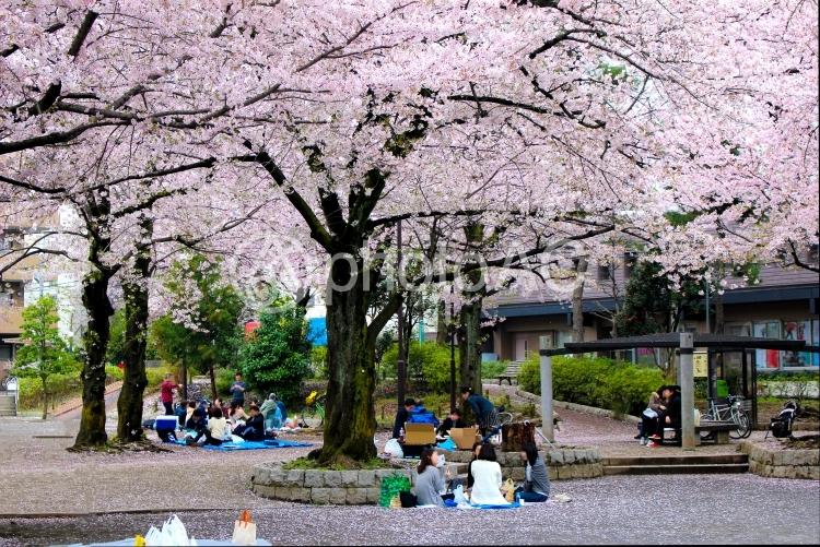 満開の桜とお花見の写真