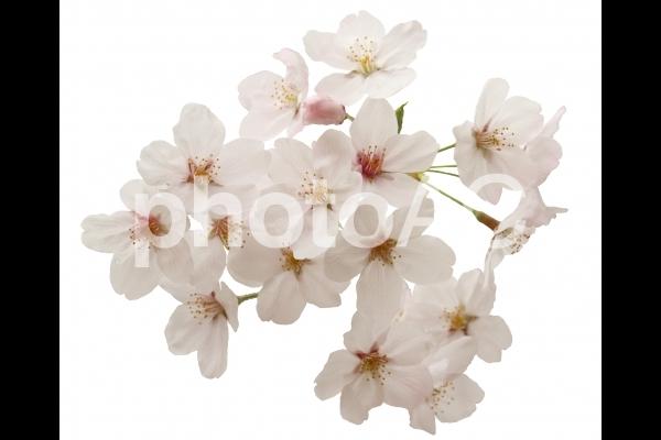 切り抜き写真素材 桜の花びら 16-06の写真