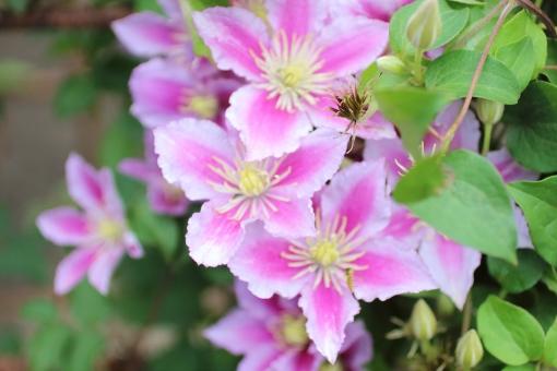 クレマチス ピンク てっせん 鉄仙 つる 園芸 花壇 植物 花 春 初夏 蕾 コピースペース コピー アップ クローズアップ 接写