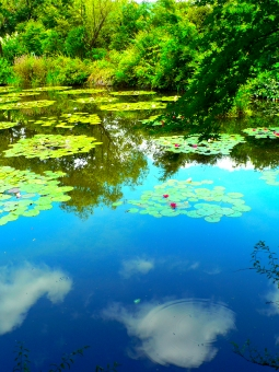 庭 クロード・モネ 睡蓮 水 青空 植物 草花 緑 木 鏡 池 沼 湖 水面 波紋 ガーデン パーク カラフル