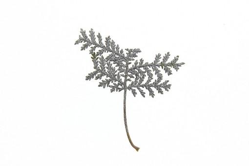 押し花 花 ドライフラワー 小花 植物 白バック 背景 背景素材 美しい かわいい 繊細な 葉 葉っぱ シルバーレース