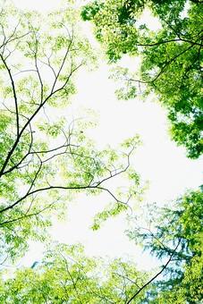 葉 緑 木 新緑 新芽 日本 木の葉 自然 植物 屋外 壁紙 背景 背景素材 バックグラウンド 光 青空 環境 エコ 木漏れ日 こもれび 枝 さわやか 爽やか 初夏 若葉 森