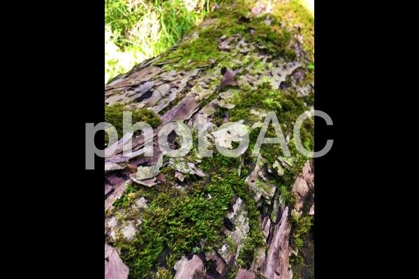 奥の細道 木肌と苔 0821の写真