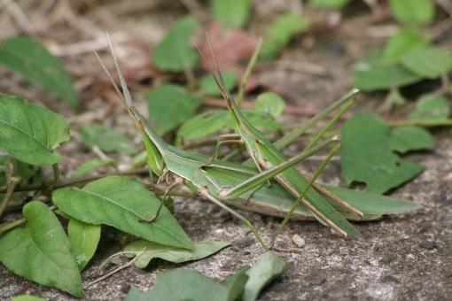 自然 風景 動物 昆虫 ショウリョウバッタ つがい 五色台 香川県