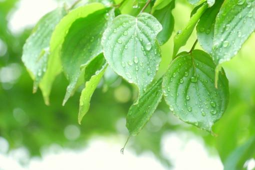 花水木 ハナミズキ はなみずき 青葉 雨 梅雨 滴 あめ つゆ しずく 滴る したたる 雨の日 水の粒 水滴 露 一滴 ひとしずく ひと雫 したたり 滴り 雫 景色 アップ 木 樹木 6月 5月 素材 葉 さわやか 植物 明るい 葉っぱ はっぱ いやし 背景素材 バックグラウンド 5月 6月 夏 春 初夏 癒し しとしと しっとり 雨降り 公園 水 みどり グリーン 自然 新緑 緑 若葉 背景 壁紙 ヤマボウシ
