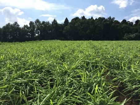 生姜 生姜畑 畑 自然 農業 作物 ジンジャー しょうが ショウガ スパイス 薬味