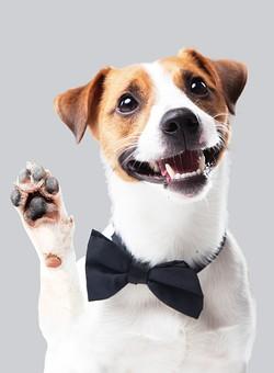 ポーズ 動物 生物 生き物 哺乳類 ほ乳類 犬 いぬ イヌ ドッグ ジャックラッセルテリア 小型犬 仔犬 子犬 蝶ネクタイ ボウタイ 手を挙げる 前足を挙げる ハイ はい はーい ハーイ かわいい 可愛い 笑う 笑顔 スマイル 白背景 白バック グレーバック 十二支 干支 戌