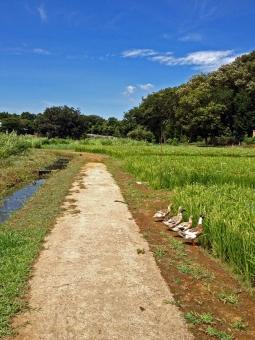 原風景 田舎 鴨 鳥 野鳥 渡り鳥 カントリー ノスタルジー 郷愁 懐かしい風景 自然 風景 夏 真夏 避暑 公園 遊歩道 水辺