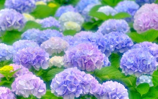「紫陽花 フリー素材」の画像検索結果