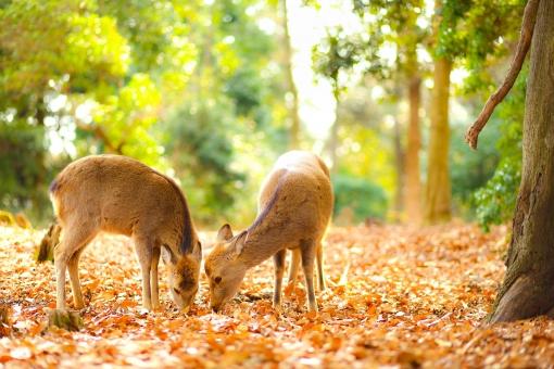 若草山の鹿の写真