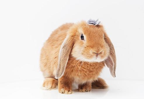 ポーズ 動物 生物 生き物 哺乳類 ほ乳類 うさぎ ウサギ 兎 仔ウサギ 子うさぎ 子ウサギ 子兎 十二支 干支 卯 茶色 ロップイヤー ヘアアクセサリー 髪飾り 花 お花 座る 白背景 白バック グレーバック 全身 かわいい 可愛い