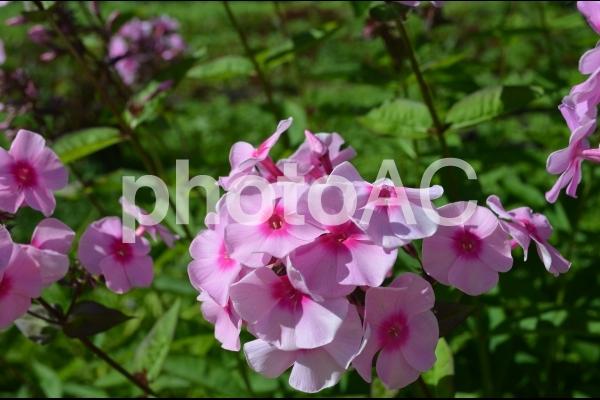 可愛いピンクの花の写真