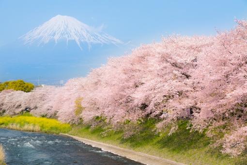 富士山 桜 潤井川の写真
