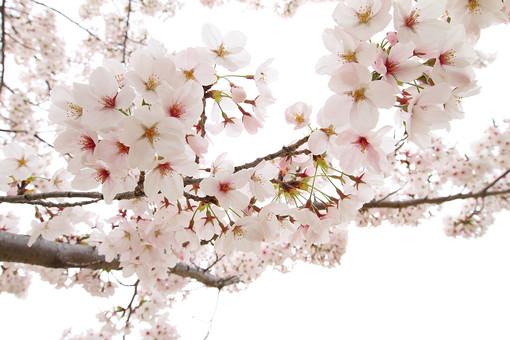花 桜 花びら 桃色 枝 小枝 自然 背景 かわいい 美しい コピースペース 春 日本 満開 和 バックグラウンド きれい 複数 上品 シンプル 背景素材 清楚 可憐 生花 ピンク 散る 桃色