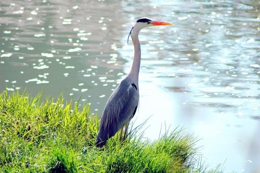 アオサギ あおさぎ 蒼鷺 青鷺 サギ 鷺 鳥 鳥類 水鳥 野鳥 水辺 河川 川面 川辺