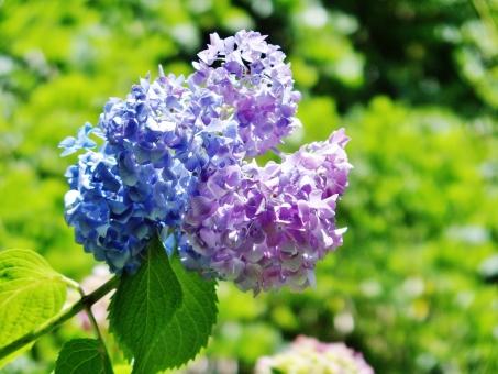 アジサイ あじさい 紫陽花 花 植物 青 紫 青紫 グラデーション 陽だまり 水無月