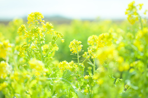 自然 植物 茎 花 花びら 黄色 沢山 集まる 密集 多い 小花 成長 育つ 伸びる しぼむ 咲く 開く 開花 菜の花 枯れる ピンボケ ぼやける アップ 空 加工 無人 室外 屋外 風景 景色 幻想的 春 黄色
