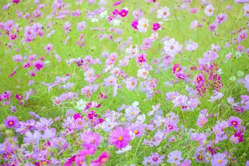 秋の風景 コスモス アキザクラ 秋桜 コスモス畑 花畑 花園 桃色 ピンク 白 緑 植物 花 草花 一面 満開 散歩 散策 自然 風景 景色 真心 のどか 鮮やか 美しい 綺麗 明るい ボケ味 ピントぼけ ぼかし