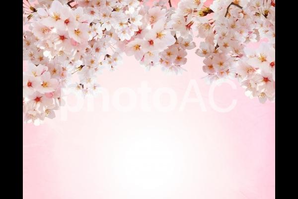 ピンクの和紙背景と桜の上フレーム素材の写真