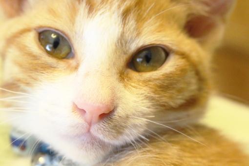 ねこ ネコ 猫 にゃん にゃんこ 子猫 茶白 茶トラ リラックス 寝起き顔 家ねこ 家ネコ 家猫 ペット かわいい 可愛い ねこカフェ ネコカフェ 猫カフェ ねこcafe ネコcafe 猫cafe アップ 見つめる 動物 哺乳類 cat 家族 ちんく