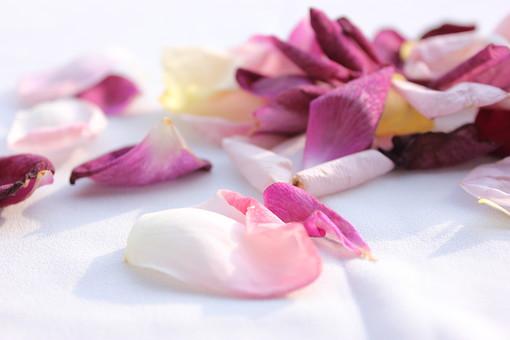 花 植物 薔薇 ばら バラ  綺麗 美しい 花びら ピンク 紫 水 浮かぶ ボール 日差し 陽射し 水滴